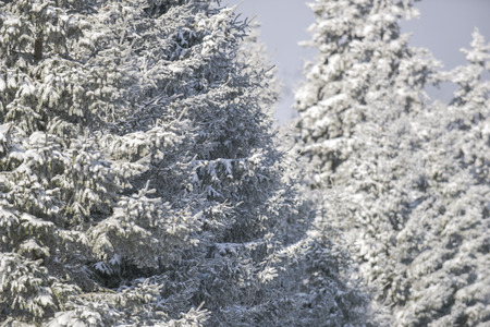 White fir mountain forest covered with snow