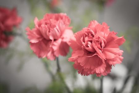 red  carnation: Red carnation flower against green background