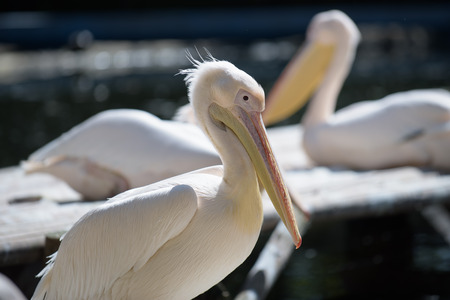 seabird: Pelicans enjoying the summer sun