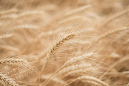 blown away: Golden wheat blown by the wind in the summer sun Stock Photo