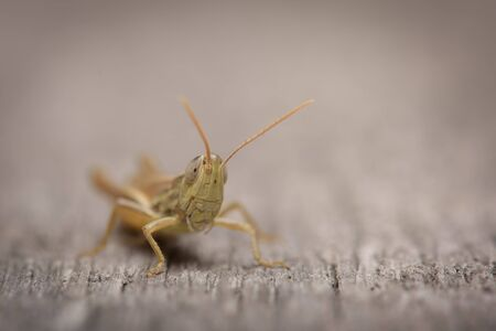 surface closeup: Small grasshopper on wooden surface close-up Stock Photo