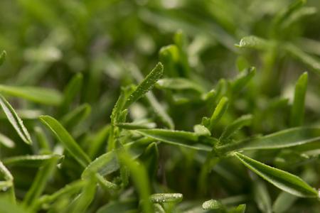 lenteja: Lentil microplants closeup after germination process Foto de archivo