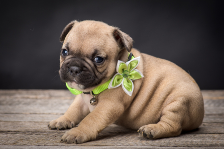 frenchie: French bulldog small age puppy