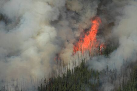 Huge flames burning coniferous trees in the forests of the Rocky Mountains