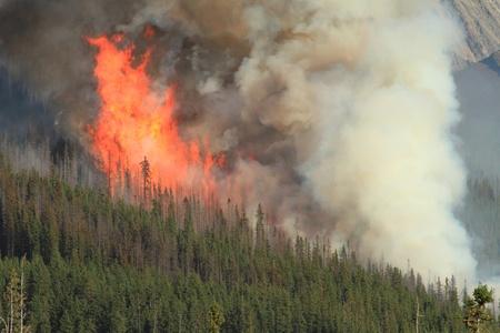 forest fire: Llamas enormes quema de �rboles de con�feras en los bosques de las Monta�as Rocosas