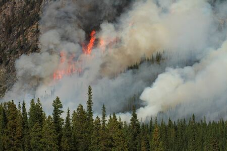 burning bush: Huge flames burning coniferous trees in the forests of the Rocky Mountains
