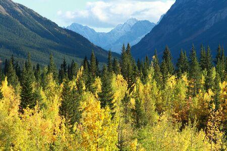 rockies: Autumn Poplar Aspen trees in the Rocky Mountains