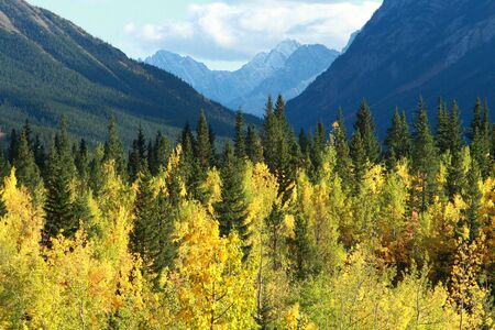 Autumn Poplar Aspen trees in the Rocky Mountains