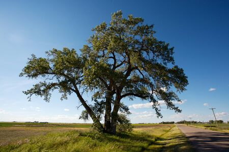 Large old Cottonwood Poplar Tree beside a road in the prairie farmlands of Canada