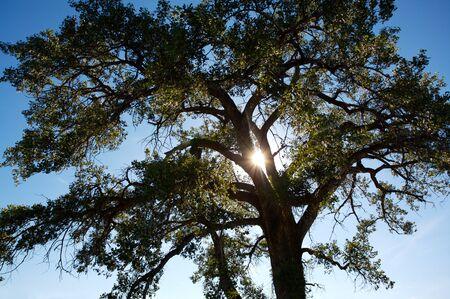 North American Cottonwood Poplar tree with the sun