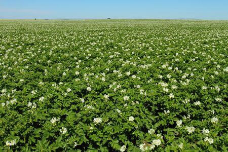 Potato plants in full bloom in the early summer Stock Photo - 11617221