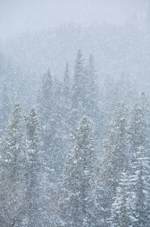 Heavy snowfall in a Rocky Mountain forest photo