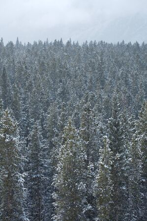 Heavy snowfall in a Rocky Mountain forest