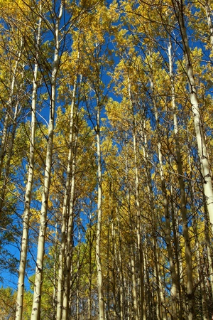 Grove of autumn aspen trees with bright blue sky