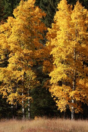 Two groups of brightly colored fall Aspen trees
