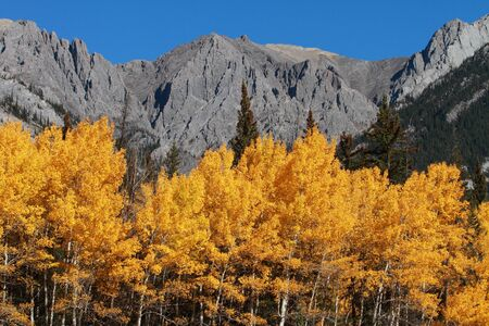 Autumn Aspen Trees with the Sawback Range in the Canadian Rockies