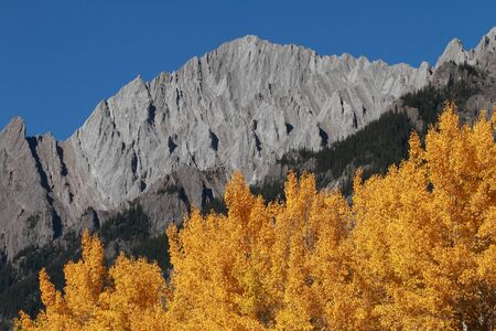 aspen leaf: Autumn Aspen Trees with the Sawback Range in the Canadian Rockies