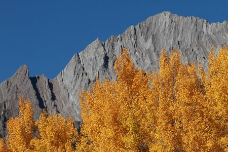 Autumn Aspen Trees with the Sawback Range in the Canadian Rockies photo