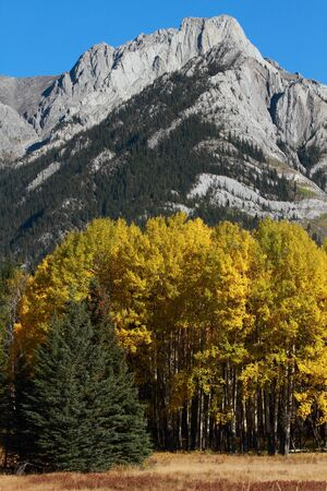 poplars: Autumn Aspen Trees with the Sawback Range in the Canadian Rockies