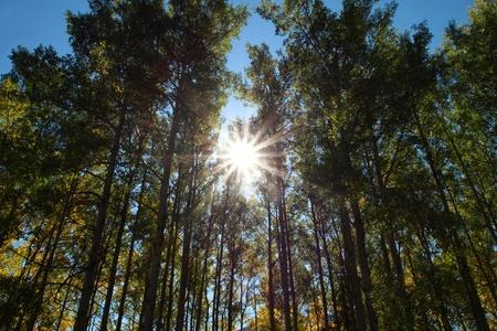 Sun shining through early autumn aspen trees