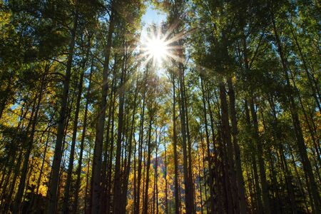 Sun shining through early autumn aspen trees Stock Photo - 11617264