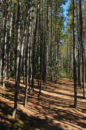A walking path through a grove of pine trees