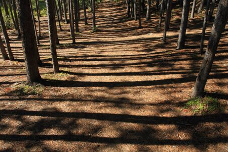 sequestration: A walking path through a grove of pine trees