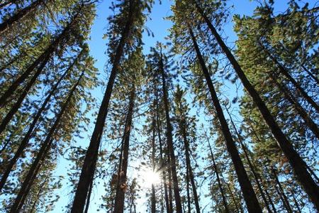 canopy: Sun shining through Pine Trees Stock Photo