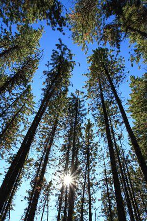 sequestration: Sun shining through Pine Trees Stock Photo