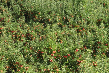 Ripe fruit in apple orchard photo