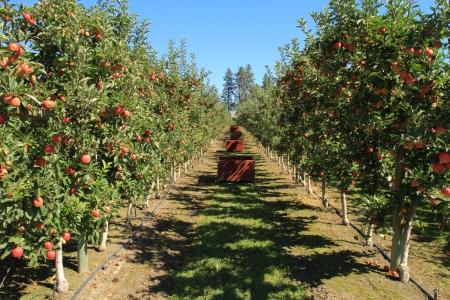 pommier arbre: Fruit m�r pour la cueillette dans un verger de pommiers