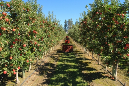 apple orchard: Fruit ripe for the picking in an apple orchard