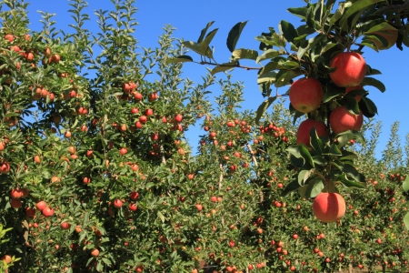 Fruit ripe for the picking in an apple orchard