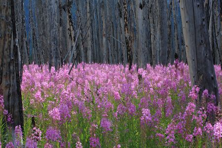 Profusion of bright pink Fireweed wildflowers in a burnt forest, Canadian Rocky Mountains photo