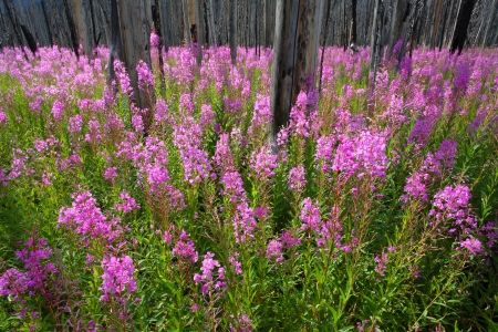Profusion of bright pink Fireweed wildflowers in a burnt forest