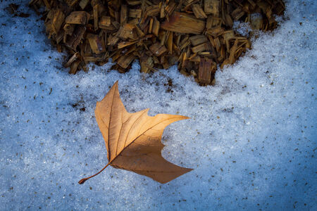 Autumn leaf lying on the snow and wood chips