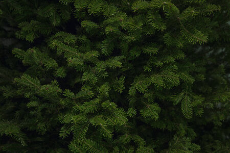 Close up background shot of branches of a Balsam Spruce Christmas Tree ready for decoration