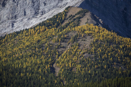 treeline: Upper reaches of the treeline with autumn yellow colored Alpine Larch trees. Kananaskis Country, Alberta, Canada