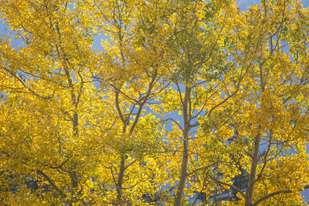 aspen leaf: Autumn colored Aspen Poplar Trees backlit by the afternoon sun in the Rocky Mountains of Canada Stock Photo