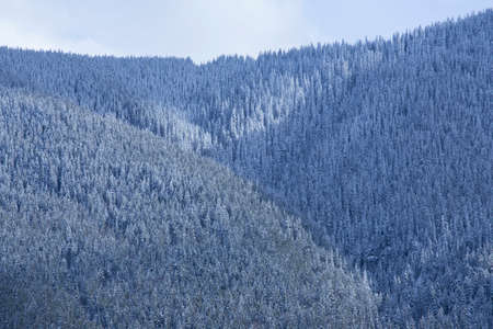 canadian rockies: The forest after a snowfall on a mountainside in the Canadian Rockies
