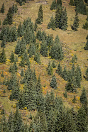 canadian rockies: Open forest of large spruce trees with autumn foliage on a mountainside in the Canadian Rockies