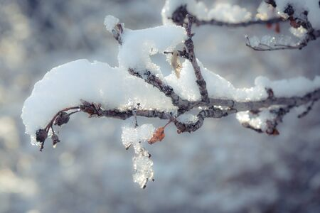 Close shot of a sunlit snow covered tree branch after an early winter snowfall