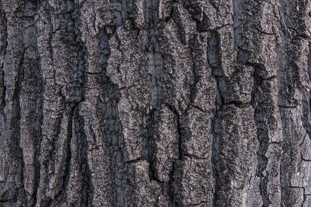 cottonwood tree: Close shot of rough textured bark on an old cottonwood poplar tree