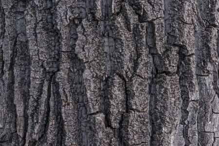 Close shot of rough textured bark on an old cottonwood poplar tree