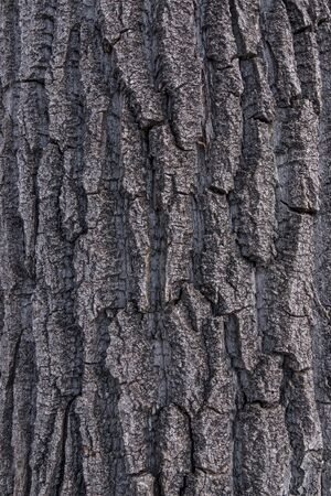 arbol alamo: Tiro cercano de la corteza de textura áspera de un viejo álamo álamo