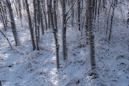 Sunlit snow covered aspen trees after an early winter snowfall Stock Photo