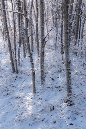 Snow covered grove of aspen trees after an early winter snowfall Stock Photo