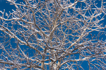 Sunlit snow covered aspen tree after an early winter snowfall