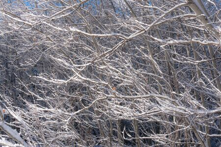 Sunlit snow covered aspen tree branches after an early winter snowfall