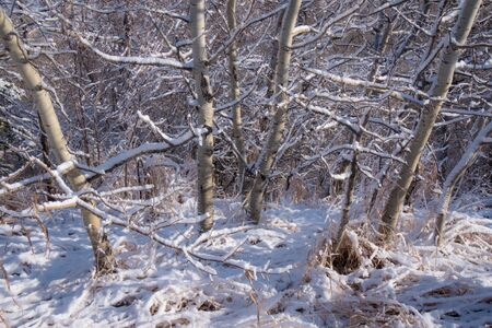 Sunlit snow covered aspen trees and branches after an early winter snowfall